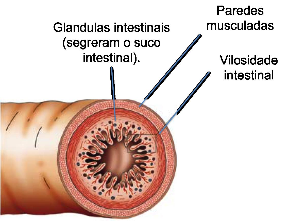 sistema digestivo humano aparelho digestório resumo da anatomia