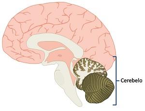 cerebelo - sistema nervoso