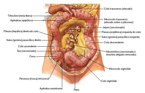 intestino-grosso