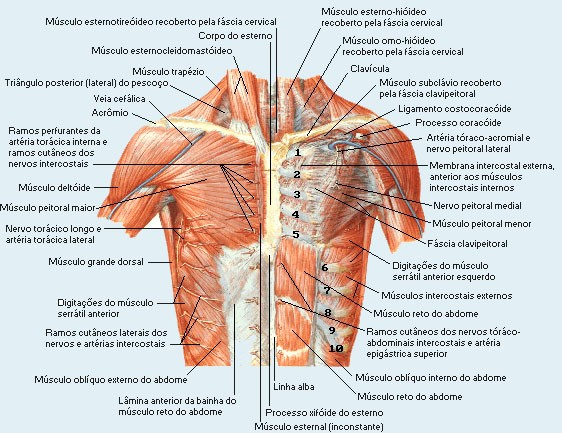 Spigelian hernia together with A Fetal Pig Dissection likewise The Forebrain Organization Of The Central Nervous System Part 1 as well Carcinoscorpius rotundicauda besides Mesh info. on dorsal and ventral anatomy