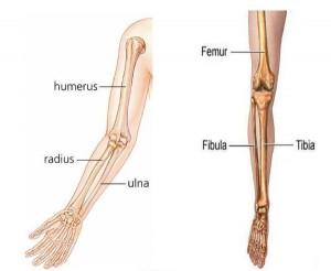 ossos-do-braço-esqueleto-humano