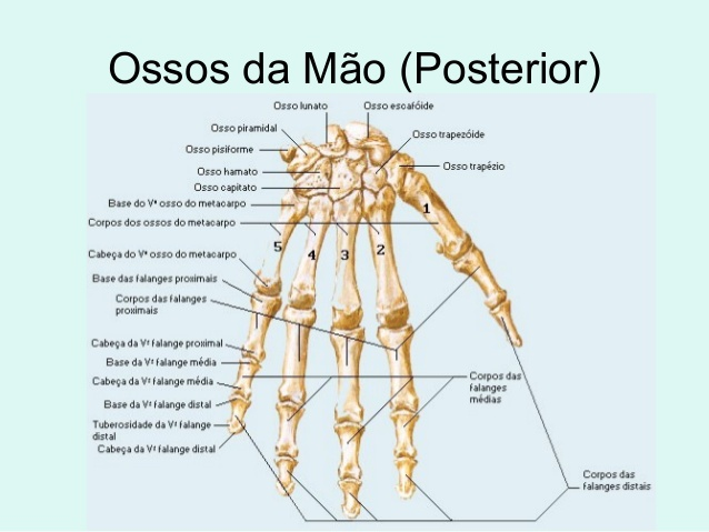 anatomia-da-mao-posterior