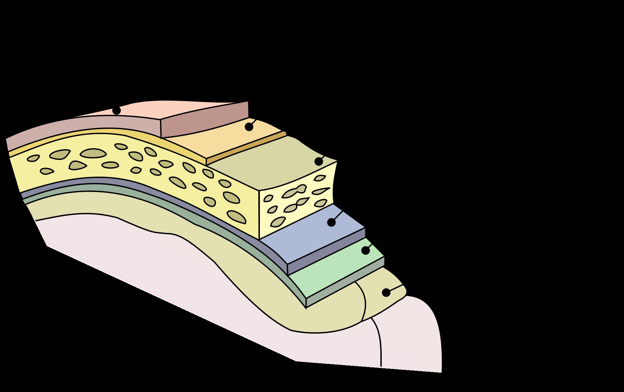 meninges-camadas