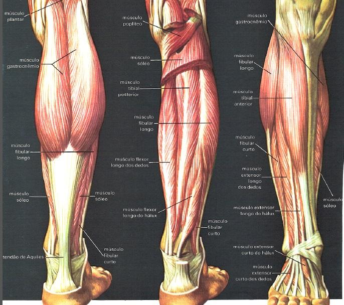 musculos-das-pernas