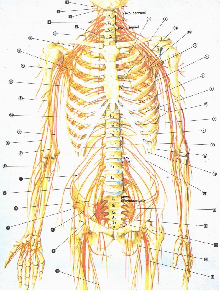 nervos-sistema-nervoso-periferico