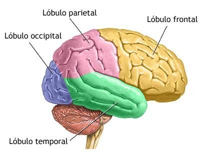 partes do cerebro