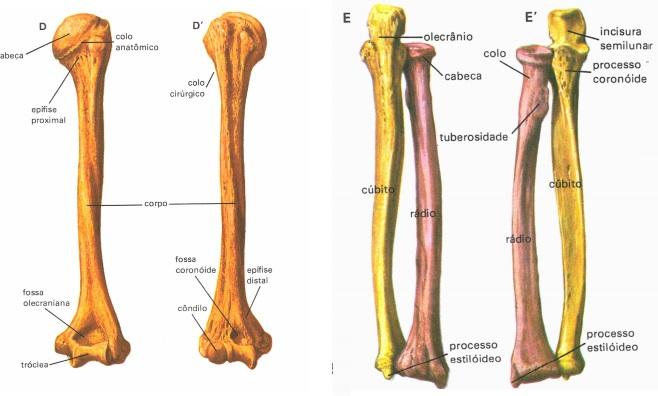 ossos-braco-antebraco