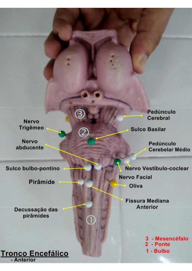 tronco-encefalico-anterior