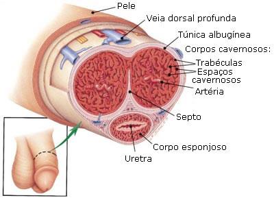 corte-transversal-penis