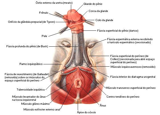 penis-humano-anatomia